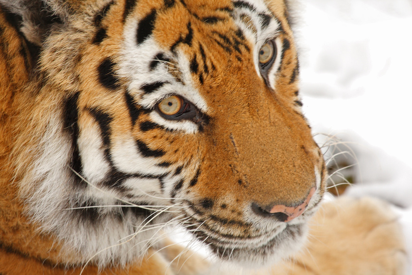 Siberian Tiger in the snow
